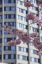 Campus Goettingen Blauer Turm Makroaufnahme mit rosa Aesten