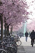 Campus Göttingen Blick entlang der rosanen Baumallee